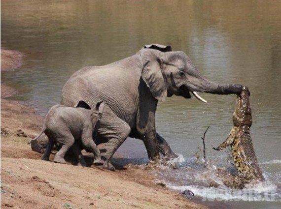 Krokodilas prieš drambį