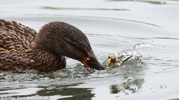 Pirmas plaukimas