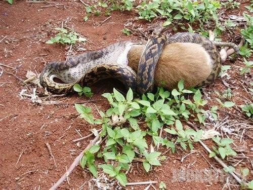 Smauglys valgo kengūrą (8 nuotraukos)