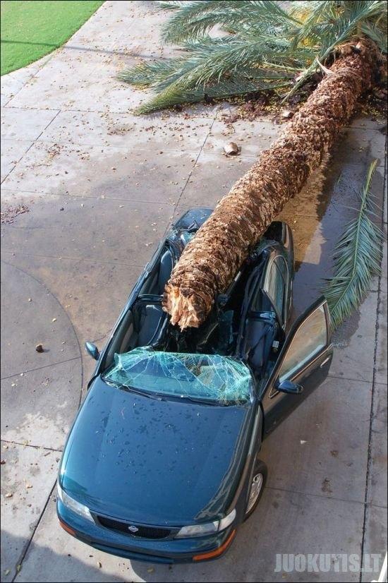 Ant automobilio nugriuvusi palmė (4 nuotraukos)