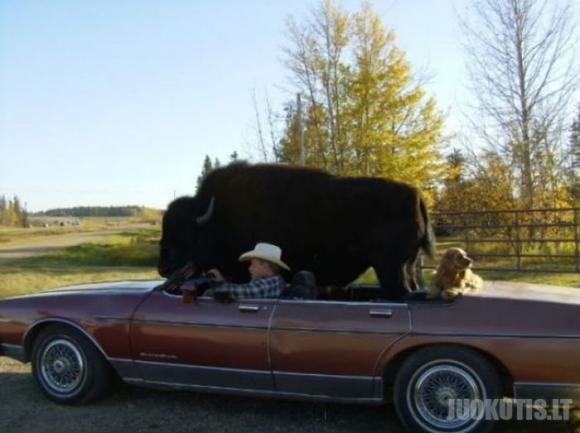 Naminis bizonas (20 nuotraukų)