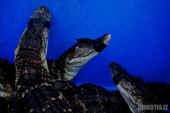 Pamokėlė, kaip medžioti krokodilus (5 nuotraukos)