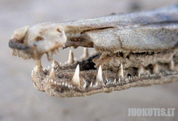 Žuvis - aligatorius (10 nuotraukų)