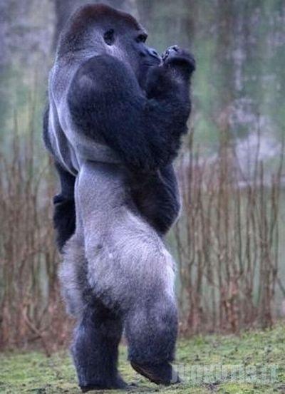 Gorila Ambam\'as (6 nuotraukos)