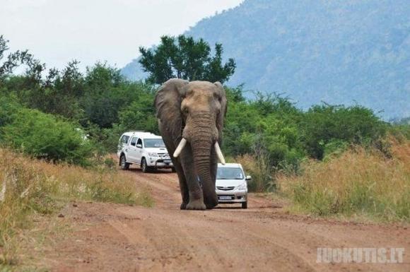Niekada nelenk dramblio kelyje !
