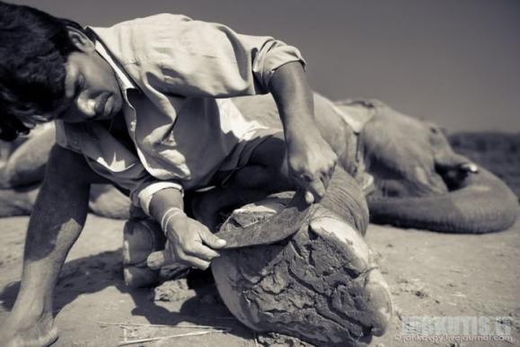 Pedikiuras drambliui