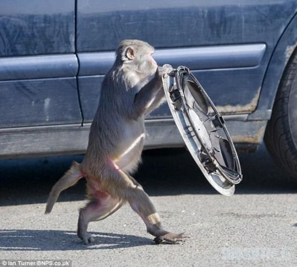 Nepalik automobilio beždžionėms