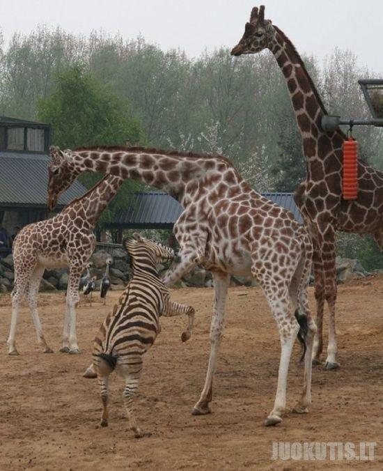 Nevalia skriausti žirafų