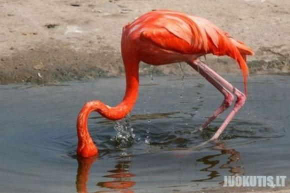 Paslidęs flamingas