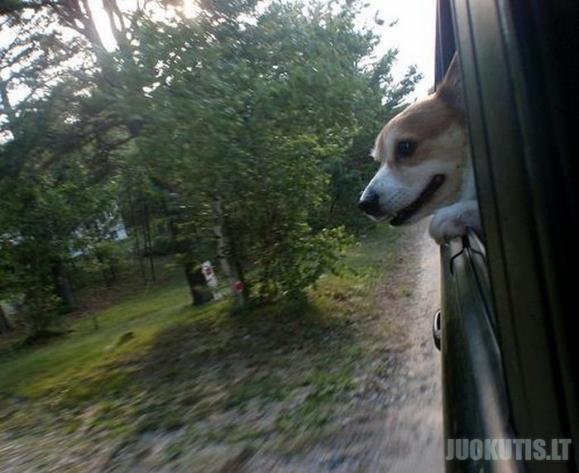 Šunys 80 km/h greičiu