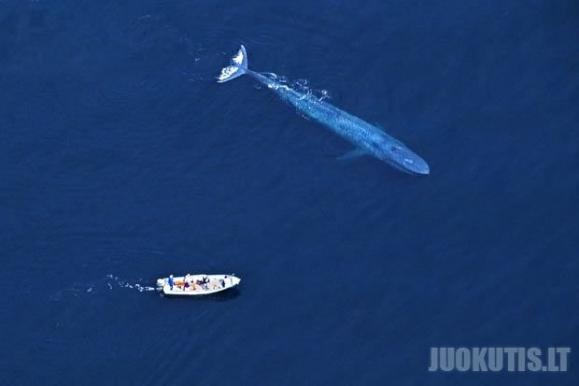Draugiškiausi banginiai pasaulyje