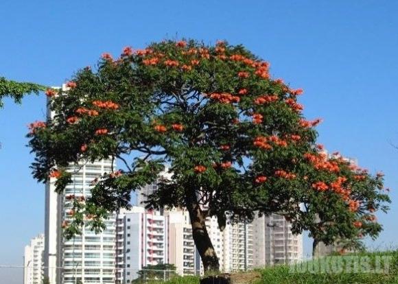Afrikietiškas tulpių medis