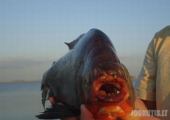 Rusijos ežere sugauta didelė piranija ?