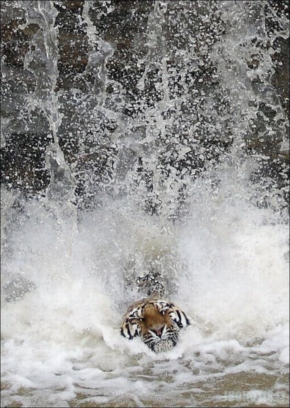 Tigras gelbėjasi nuo karščio