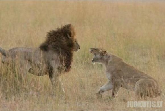 Liūtų šeimos skandalai