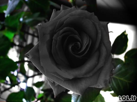 Gamtos pokštas - juodos rožės