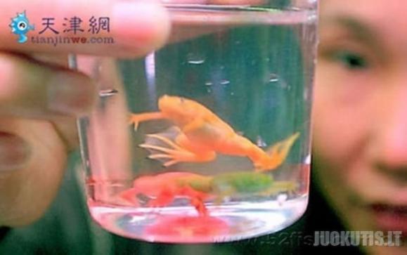 Kinija ir vėl pakvaišo: šalyje dažomos varlės