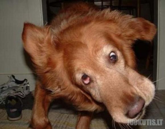 Šunys purto galvą