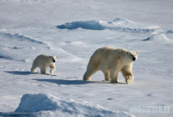 Baltųjų lokių šeimos kasdienybė