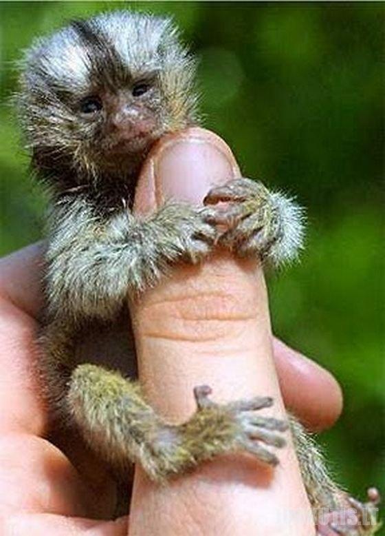 Nykštukinės beždžionėlės