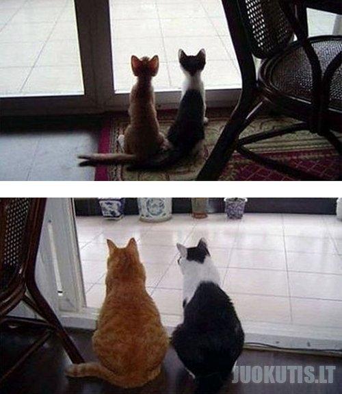 Kaip auga katės