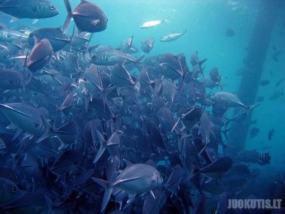 Milžiniški žuvų pulkai