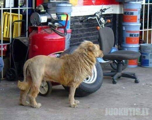 Įsiutęs liūtas mieste