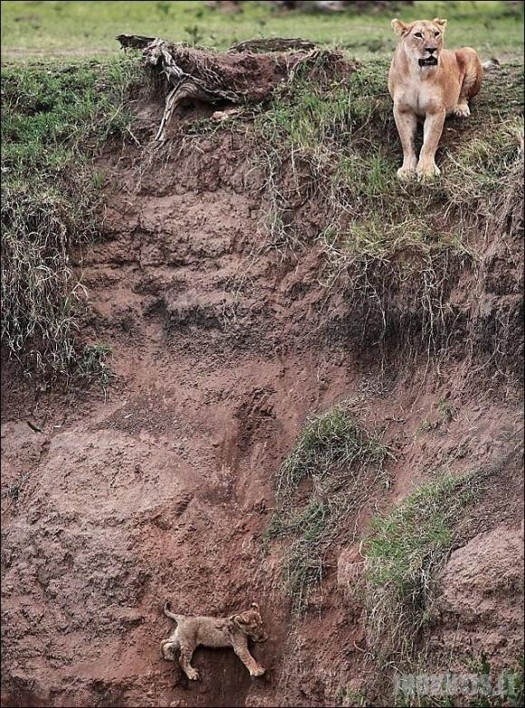 Liūtuko gelbėjimo operacija