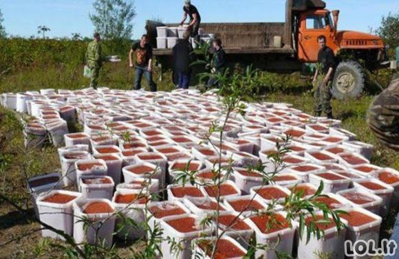 Kaip naikinama ikrų kontrabanda Rusijoje