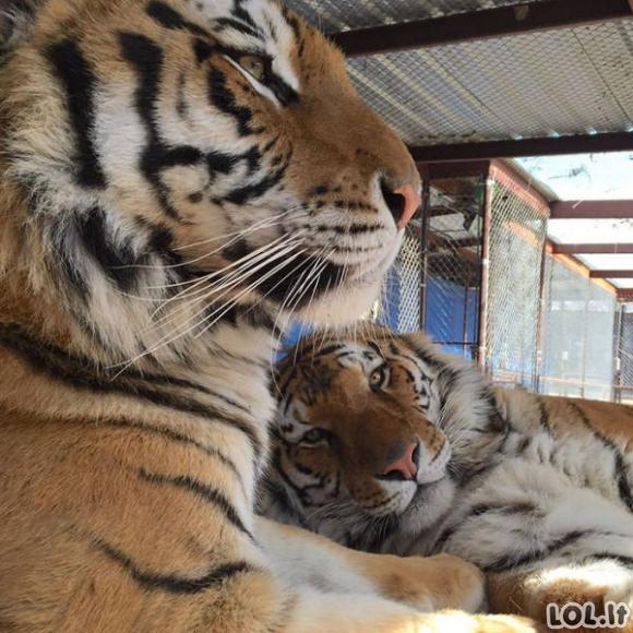 Nustekentos tigrės atsigavimo istorija