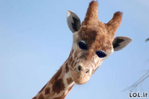 Jei gyvūnų akys būtų ne šonuose, o priekyje