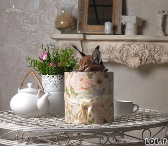 Karakalų kačiukai