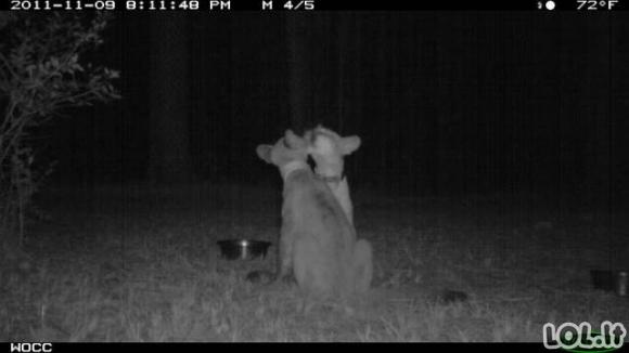 Paslėptos kameros fiksuoja juokingus gyvūnus