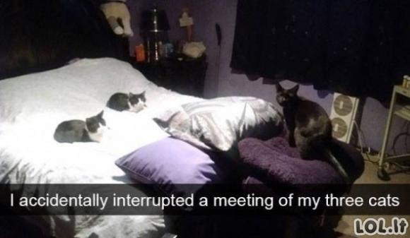 Juokingų kačių galerija
