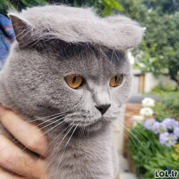 Katinai su Donaldo Trampo šukuosenomis (20 nuotraukų)