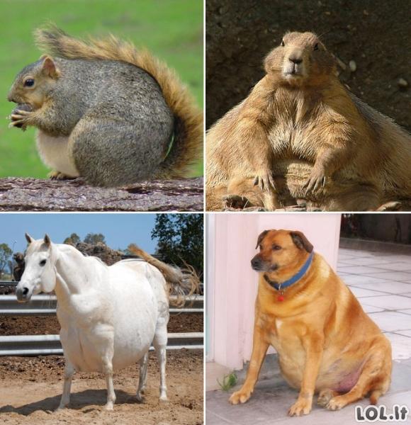 Jeigu gyvūnai turėtų viršsvorio (20 nuotraukų)