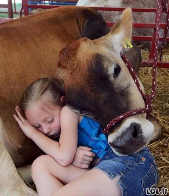 Labai draugiškos karvutės (20 nuotraukų ir GIF paveikslėlių)