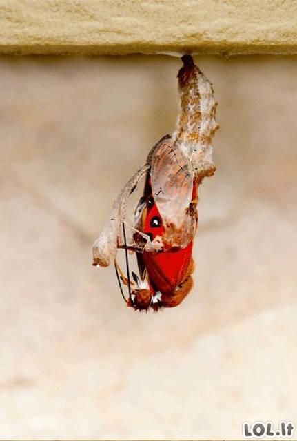 Kaip gimsta drugelis (10 foto)