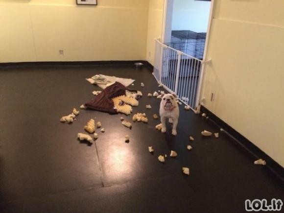 Gyvūnai, kuriems nusispjauti ant taisyklių namuose [26 nuotraukos]