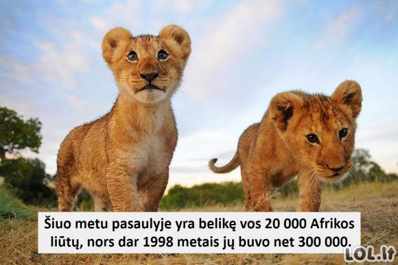 Faktas apie liūtus