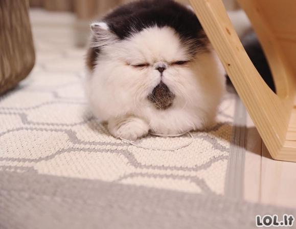 Katinas Zuu, kurio snukutyje matosi ta emocija, kurią jaučiame keldamiesi ryte nuo žadintuvo [GALERIJA]