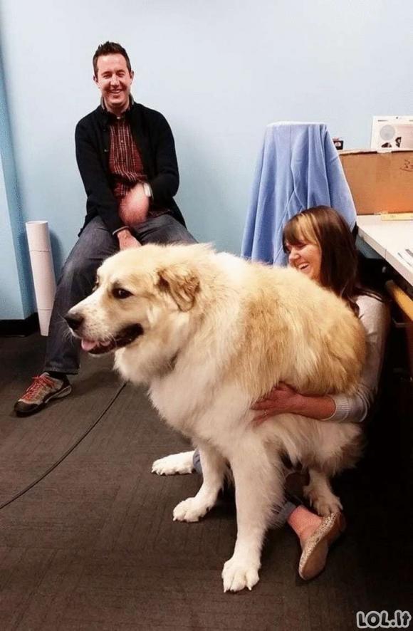 Šie šunys nė nenutuokia, kokie dideli jie yra, bet vis tiek prašosi ant kelių