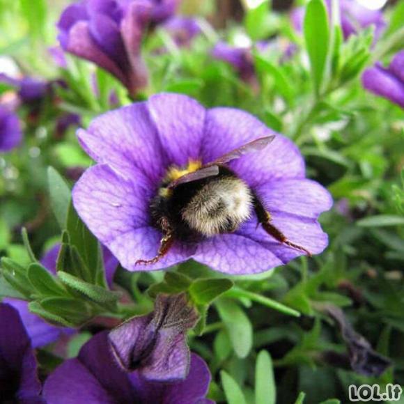 Darbščiosios bitutės, užmigusios žieduose [GALERIJA]