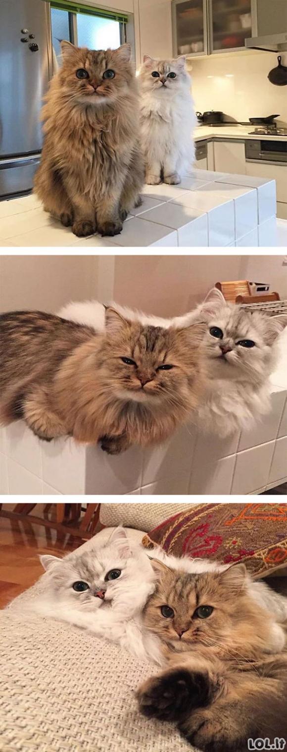 Katinukai su pūkuotu kailiuku [GALERIJA]