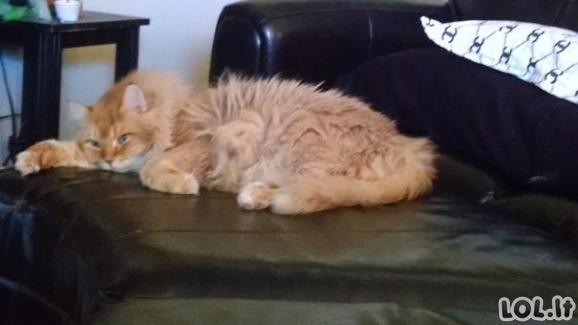 Katinukai su išskirtiniu kailiuku [GALERIJA]