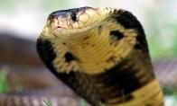 Apie vabzdžius, lietuvišką kobra ir kakojantį vyrą