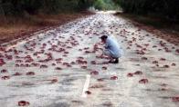 Krabų migracija Velykų saloje