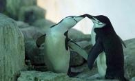 Homoseksuali pingvinų pora Kanados zoologijos sode