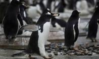 Pingvinų patelės užsiiminėja prostitucija