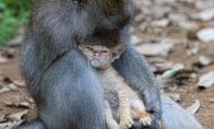 Rūpestinga beždžionė
